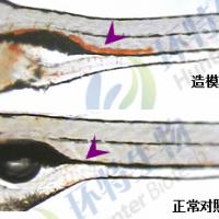 斑马鱼血栓药物筛选模型